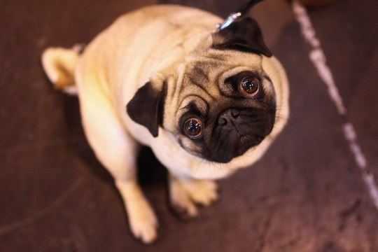 A pug dog stands in the exhibition hall on the final day of the annual Crufts dog show