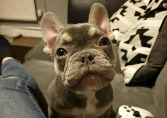 Hunt For 2600 French Bulldog Puppy Stolen From Family Home
