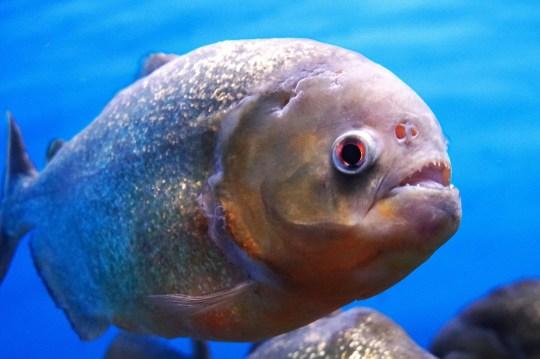 Piranha of the Amazon River