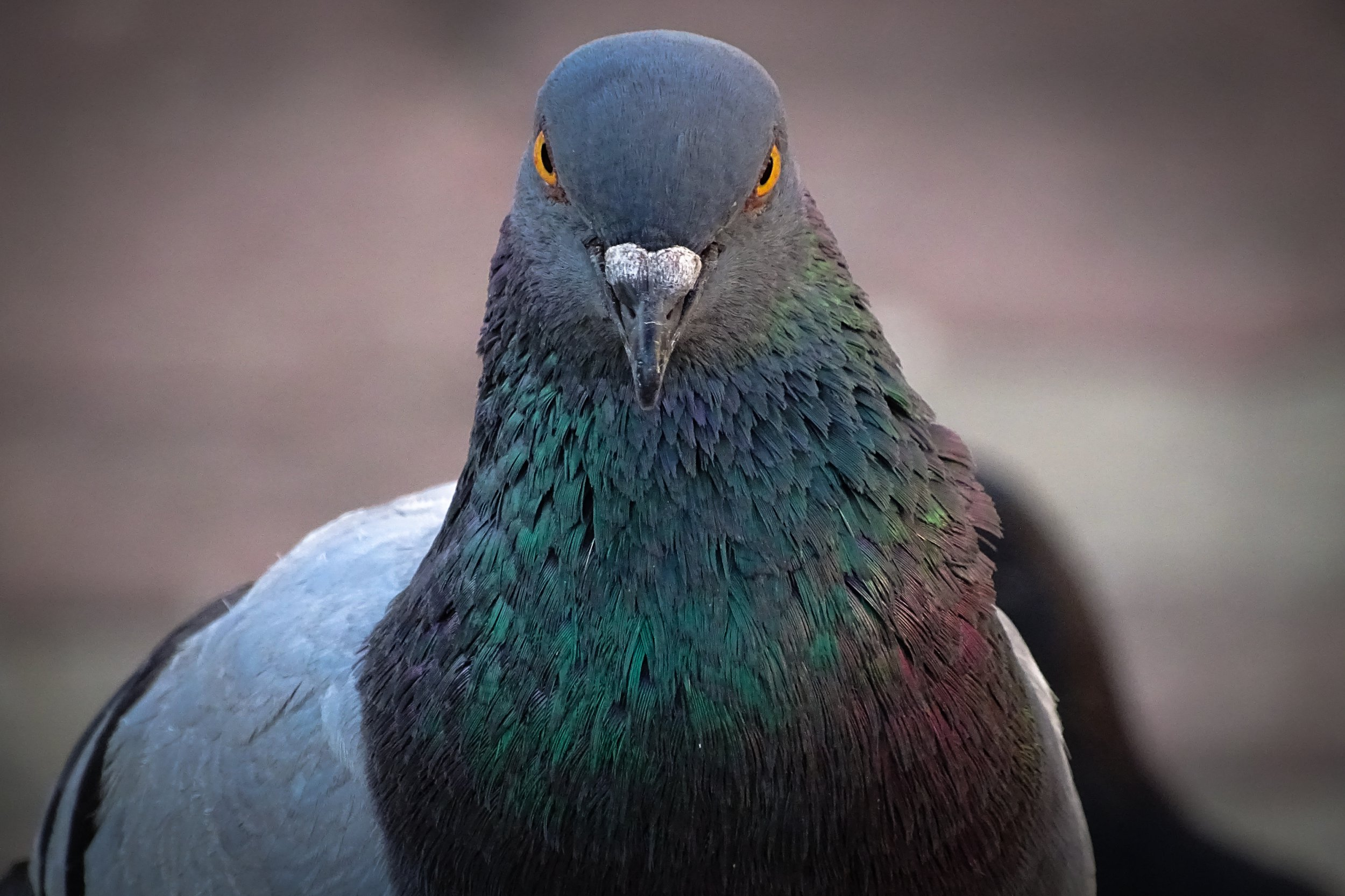 Front perspective of a face of Rock Pigeon face to face.Rock Pigeons throng streets and open squares, vital on rejected food and offerings of birdseed.; Shutterstock ID 1069354133; Purchase Order: -