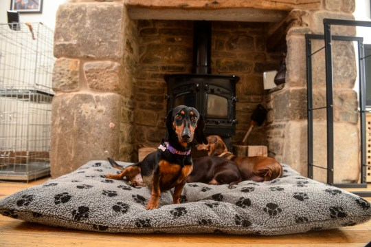 The sausage dogs chilling inside