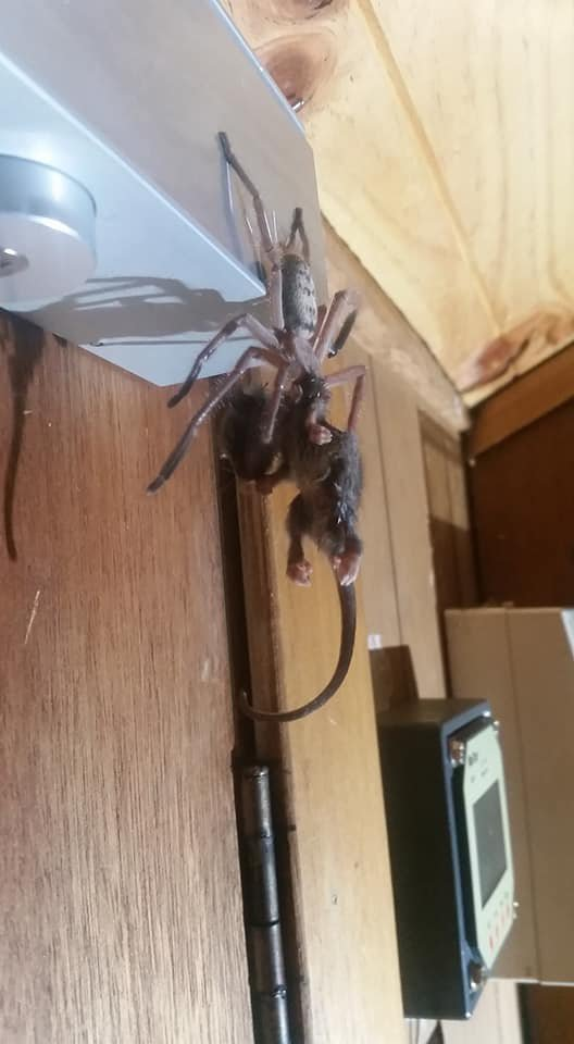 Massive spider is so big it eats an entire possum | Metro News