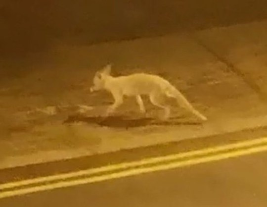 - Picture of an Albino Fox spotted in Angel, Islington, north London. TRIANGLE NEWS 0203 176 5581 // contact@trianglenews.co.uk By Helena Kelly With pix and video THIS is the moment a rare albino fox is captured wandering through a car park. The pale creature can be seen darting between cars near a housing estate. Resident Chimanski Pereira admitted he was stunned to find the creature skulking outside his window.