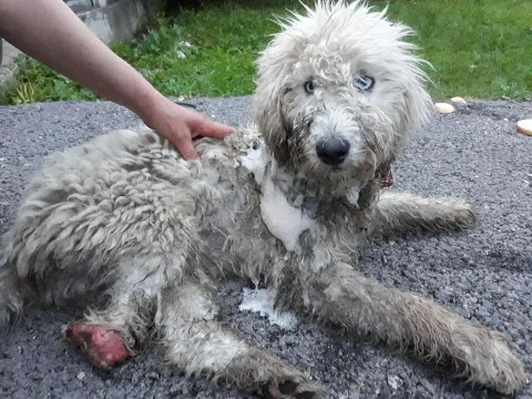 Dog eaten alive by maggots after leg is chopped off and left