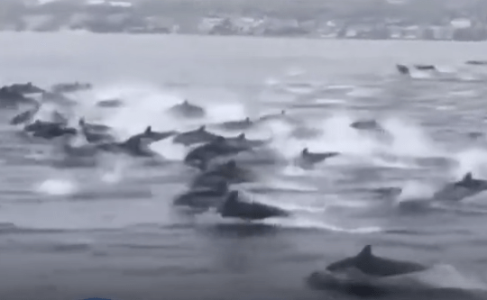 Grab of dolphin pod leaping from the ocean