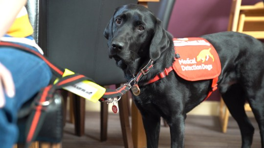 Stowe the medical detection dog