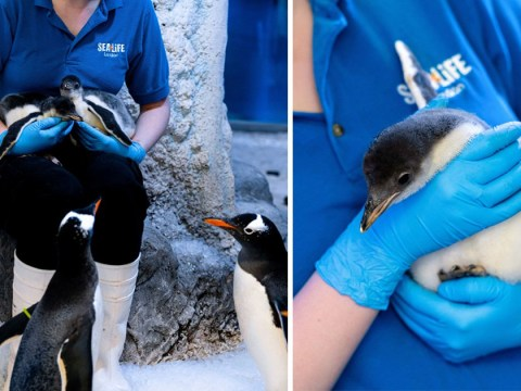 Lesbian penguin couple become parents after first adopted chick hatches