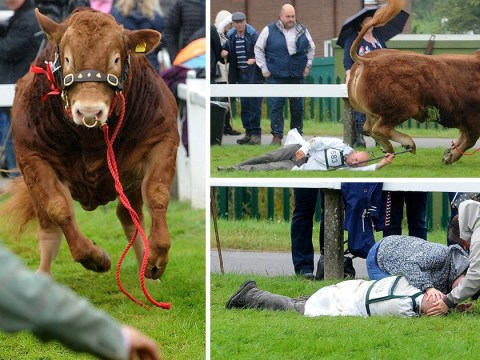 Prize-winning bull knocks handler unconscious after becoming 'spooked' at show