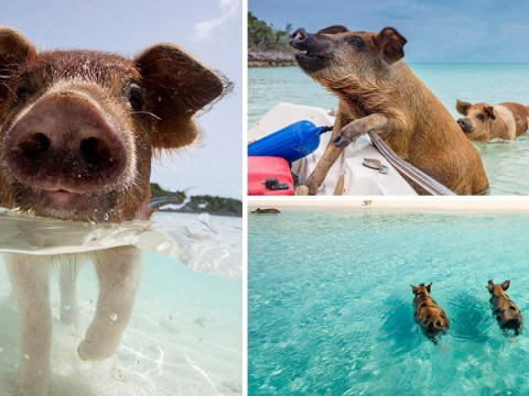 Love Island's Amber is right, there are swimming pigs in the Bahamas