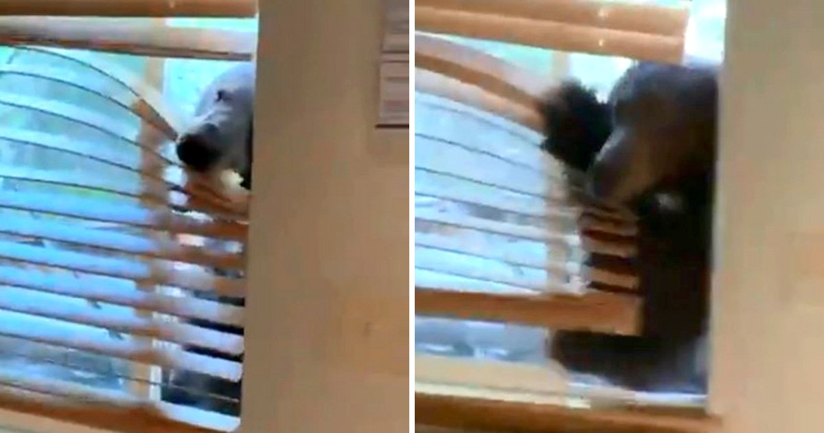 Brown bear invades woman's cabin in Lake Tahoe
