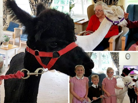 Elderly people with dementia were visited by alpacas and it made their day