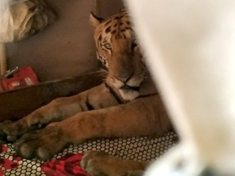 Tiger escapes deadly monsoon floods by breaking into house