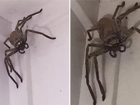 Woman told 'burn it, burn it with fire' after finding massive huntsman spider