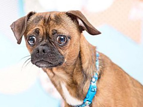 An adorable chihuahua pug is looking for a home – and the adoption ad will make you laugh