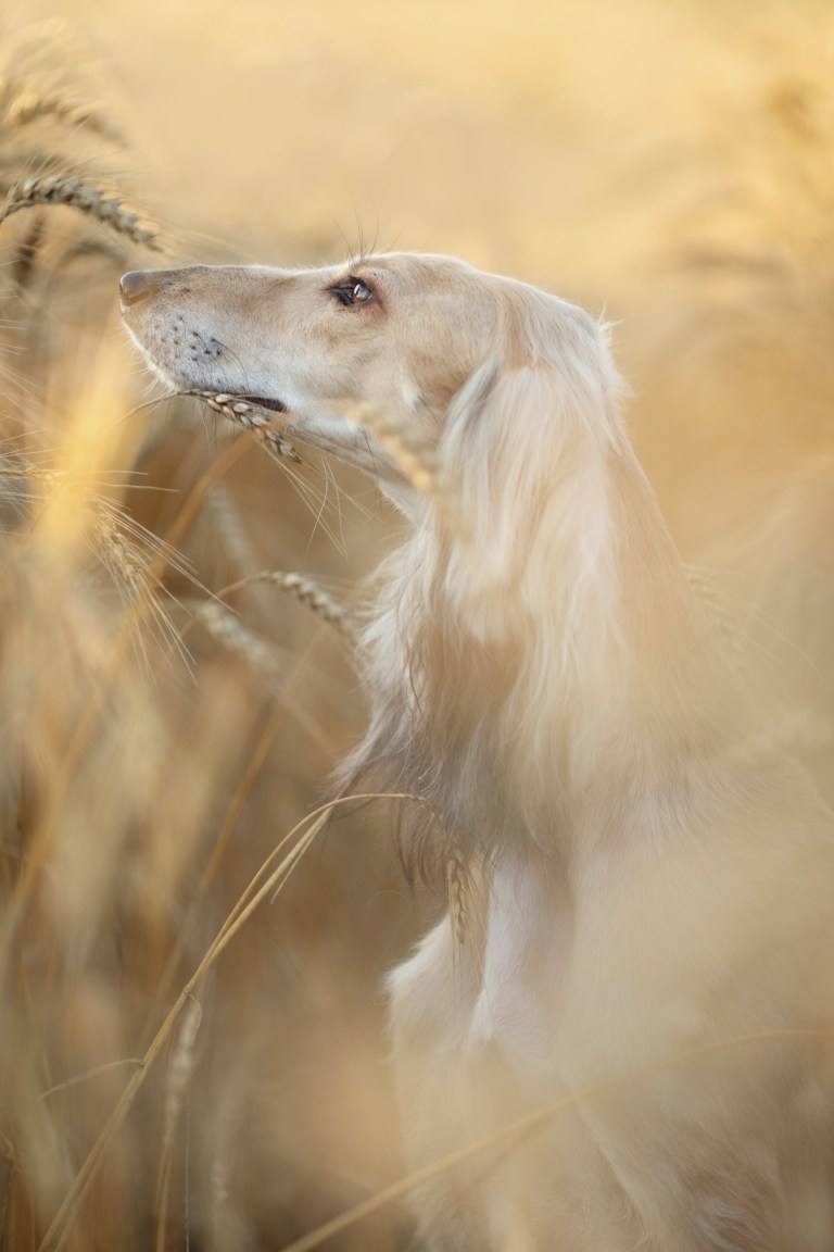 "Picture supplied by Anastasia Vetkovskaya /Kennel Club/Bav Media 07976 880732. A photo of a stunning Saluki by Anastasia Vetkovskaya from Russia came first in the Portrait section A stunning picture of a dog surrounded by magnolia has come top in the annual Dog Photographer of the Year contest. The photo of rescue dog Merlin was chosen as the overall winner in The Kennel Club's international competition, which received almost 7,000 entries from more than 70 countries. Denise Czichocki, from Switzerland, who took the photo of her 14-year-old Podengo, said: ""I am really proud and overwhelmed, I still can't believe it! There are so many good photographers out there and I won this title, it is absolutely amazing. ""I have always loved to take pictures of everything, and my passion for dog photography started when I had my own, I wanted to create lovely memories of all of them. Over the years I have developed my photography to become more emotional."" The contest had 10 categories: Portrait, Man's Best Friend, Dogs At Play, Dogs At Work, Puppy, Oldies, I Love Dogs Because - for entrants aged between 12 and 17 years old - Young Pup Photographer - for entrants aged 11 and under - and Assistance Dogs and Rescue Dogs. SEE COPY CATCHLINE Winners of Dog Photo of Year comp"