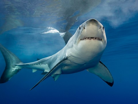 Great White Sharks spotted off Devon coast and more could be coming