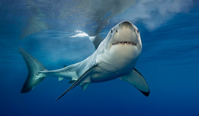 White shark lifts it's head to look at us in the cage.