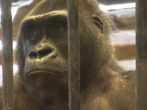 Gorilla pulls out her hair in frustration at being kept in cage for 30 years
