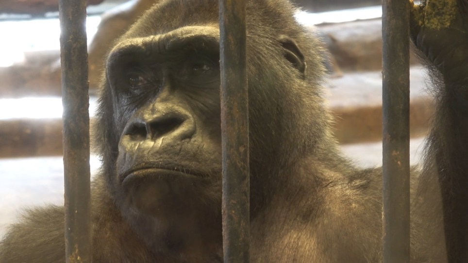 NEWS COPY - WITH VIDEO ??????Harrowing footage shows a destitute gorilla caged in a filthy zoo - four years after she was supposed to be set free. Thirty-year-old Bua??Noi has been living on the seventh floor of the grotty shopping mall zoo in Bangkok, Thailand, since 1992, when she was brought aged three from Germany. She has been locked in her cramped and dirty cage and has never set foot outside the concrete floor. Footage taken last week shows the sad-eyed gorilla rolling around her cage pulling her hair out in frustration.?? There even appear to be tears in her eyes as she looks out from behind the rusty bars of her enclosure. There were calls for Bua Noi to be released in 2015 and the zoo to be closed - but shocking??she remains in the cage to this day.