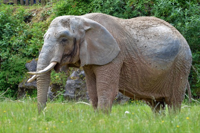Duchess the much loved elephant at Paignton Zoo. See SWNS story SWPLelephant. A British zoo is mourning the loss of its 'matriarch' after an elephant that had been its star attraction for more than 40 years died. Female African elephant Duchess collapsed in her house at Paignton Zoo on Sunday morning. Despite efforts to save her staff made the decision to euthaniase her four hours later. Duchess had showed no signs of illness prior to her collapse, and behaved normally when keepers left the night before.