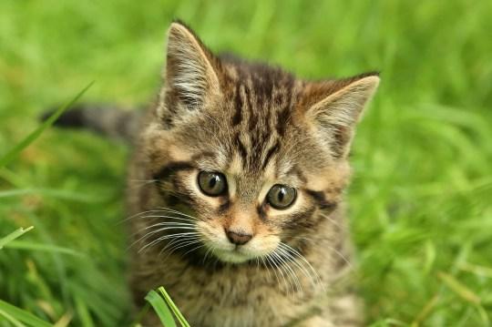 Nati due gatti selvatici scozzesi