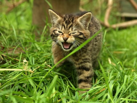 Rare Scottish wildcat kittens born in the Highlands