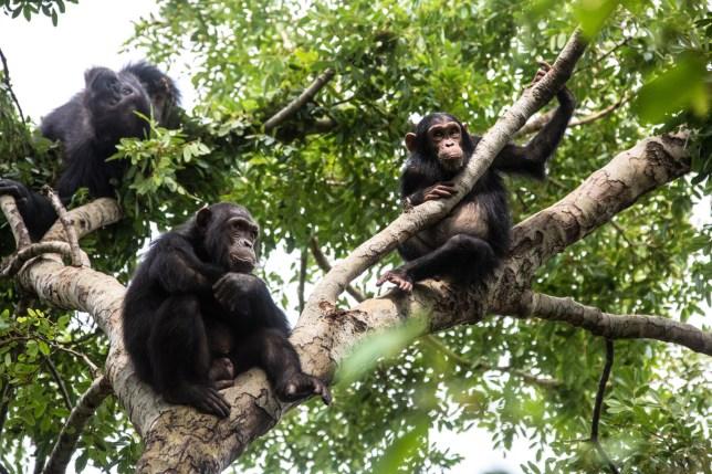 Group of Chimpanzees sitting in a tree, wildlife shot, Gombe Tanzania