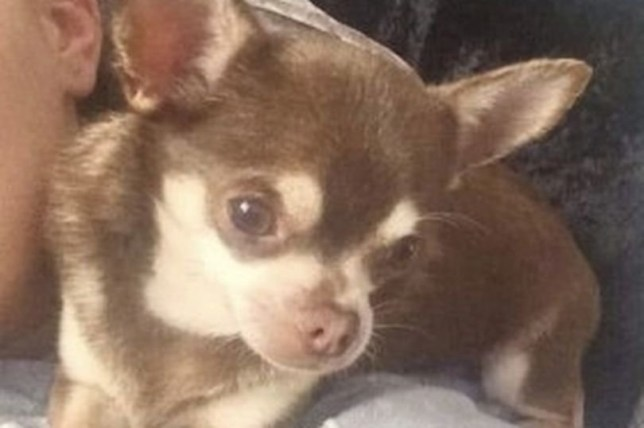 Desperate hunt for chihuahua snatched by seagull from garden