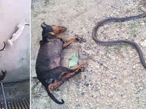 Hero dog dies protecting baby from cobra