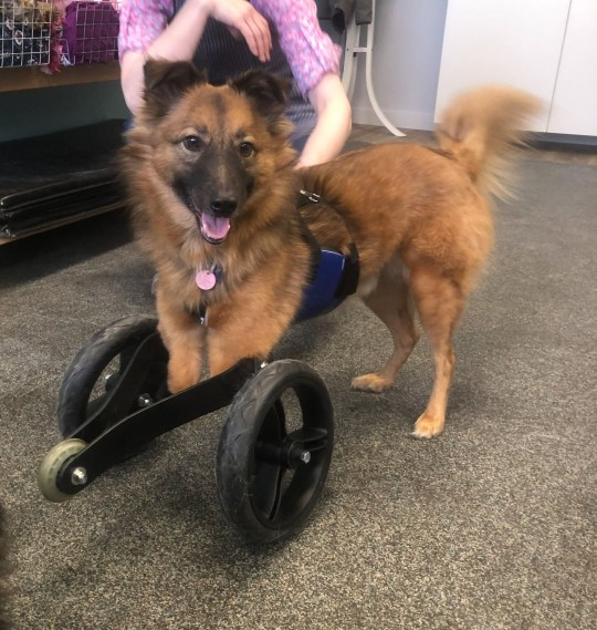 Erin and Romain rescued True after his owner chopped off his front legs - true the dog using his wheelchair
