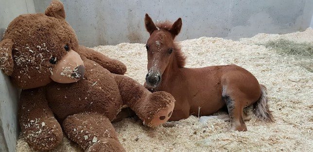 Ava the foal, who is being kept in quarantine and is fighting for her life after her mother died on Dartmoor, at The Mare and Foal Sanctuary next to her comfort teddy