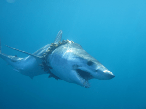 Sharks are getting tangled up in plastic rubbish and dying in horrific pain, scientists reveal