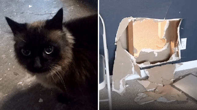 Spaghetti the real-life cat burglar was caught helping his owner raid a house in Oregon last weekend
