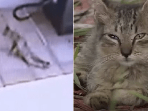 Heartbreaking moment dying kitten drags itself back to owner after being shot by animal abuser