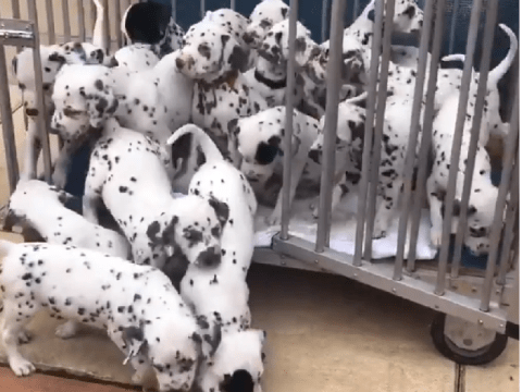 Dalmatian breaks world record after delivering 19-puppy litter