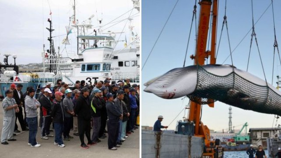 The resumption of commercial whaling is condemned by many conservation groups