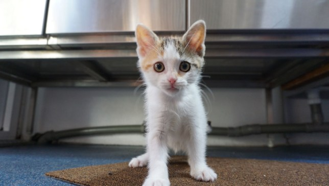 wobbly kitten who's unsteady on her feet is looking for a home