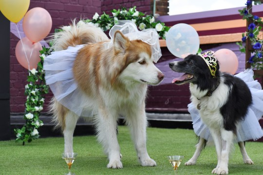 Two dogs getting hitched, dressed as a bride and groom with champagne glasses in front of them