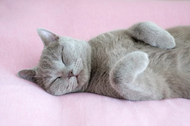 relaxed british blue shorthair cat on a colourful background