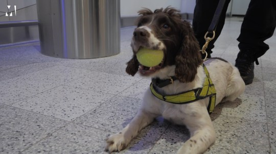 Lola, a small liver and white springer spaniel sits on the airport floor wearing a high visability neon yellow harness with a leash attached and holding a tennis ball in her mouth.