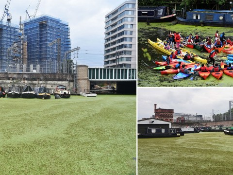 Regents Canal turns green after epic heatwave causes duckweed explosion