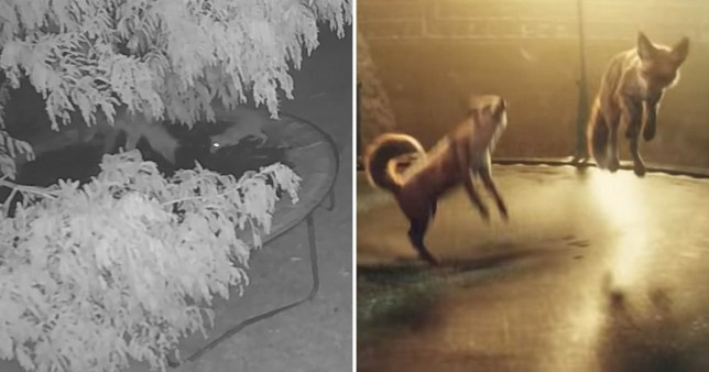 Real foxes jump on a trampoline just like in the John Lewis advert (right) (Picture: Wales News Service)
