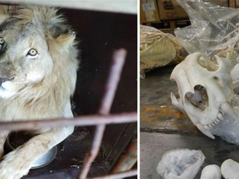 Shocking lion bone trade is putting species 'at risk of extinction'