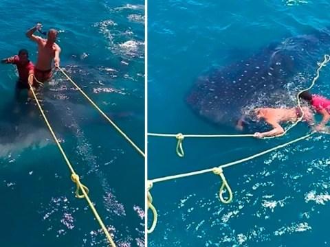 Jerks filmed 'surfing' on back of rare protected whale shark