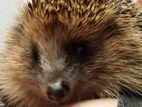 Stolen blind hedgehog reunited with owner after being found by dog walker