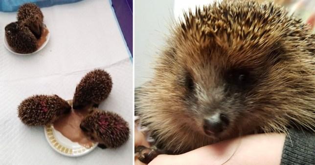 Stephen the stolen blind hedgehog