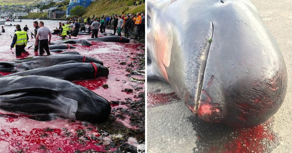 Dead whale calves plucked from mothers in Faroe Islands slaughter