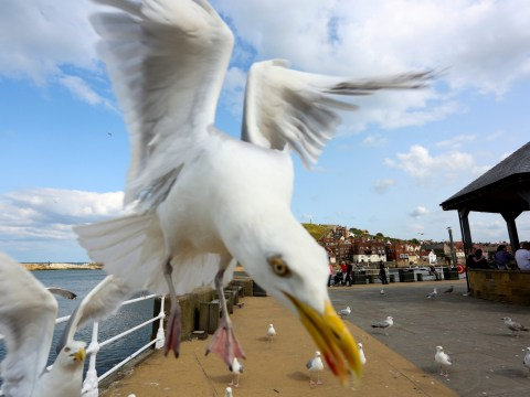 Swooping seagulls are so bad passengers are being warned to guard their food