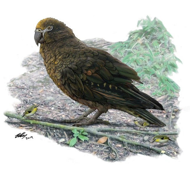 """EMBARGOED FOR RELEASE: 7 AUG-2019 00.15 BST ( 6 AUGUST 19:15 ET) Reconstruction of the giant parrot Heracles, dwarfing a bevy of 8cm high Kuiornis -- small New Zealand wrens scuttling about on the forest floor. See National News story NNbird. A giant cannibal parrot that lived in New Zealand 19 million years ago has been dubbed 'squawkzilla'. The tree-dwelling creature is believed to have used its enormous beak to feed on the flesh of its own species. Scientists reckon Heracles inexpectatus feasted on other parrots to nourish its massive frame. The Australian team declared: """"New Zealand's big bird was a whopping 'squawkzilla'. Meet 'Hercules' - the giant parrot that dwarfs its modern cousins."""""""