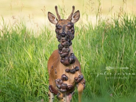 Distressing pictures show deer covered in tumours from HPV